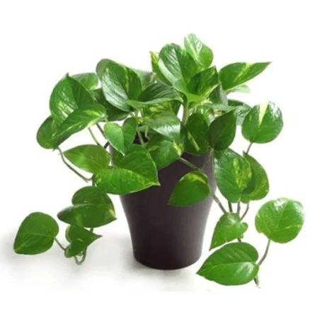 INDOOR-MONEY-PLANT