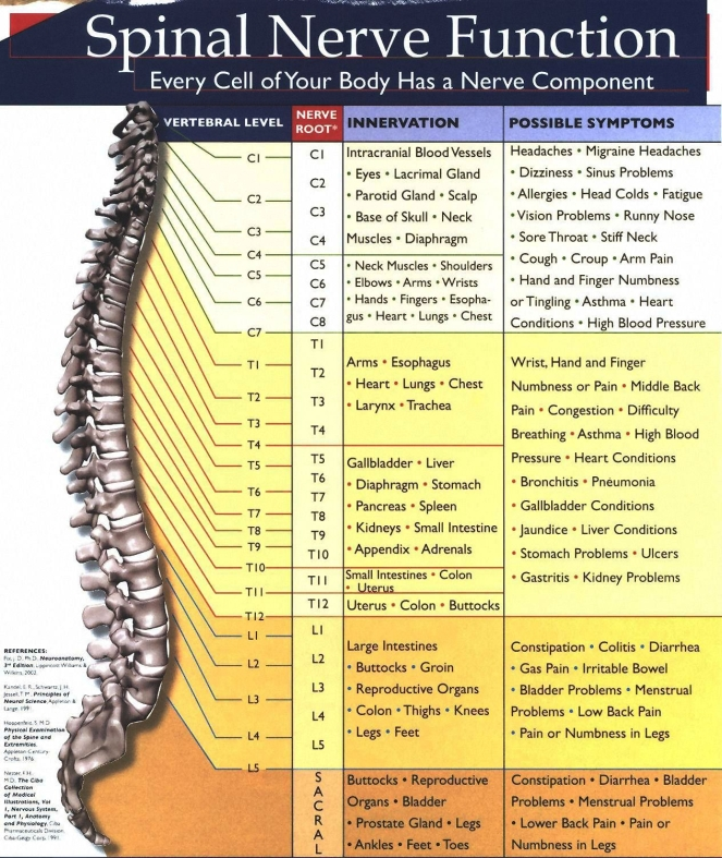 spinal-cord-innervation-chart-nerve-root-innervation-chart-spine-and-meaning-spinal-cord.jpg